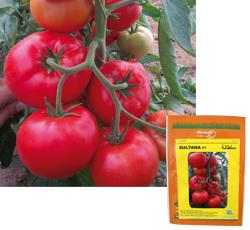 ACI organise une journée technique sur sa variété de tomate SULTANA F1